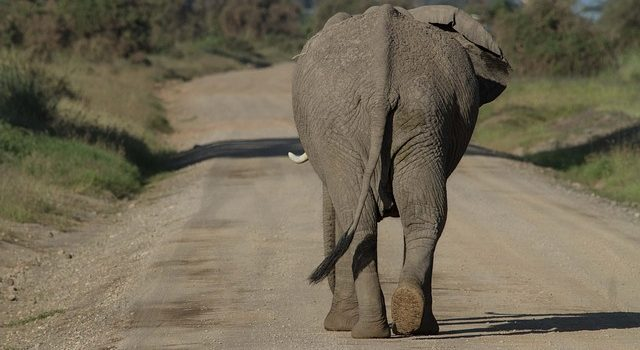 Elephant walking along a road