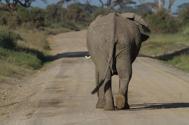 Elephant walking on a road.